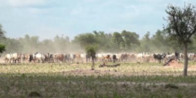 Conflit agriculteur – éleveur à Fada N'Gourma : Le bétail débarque, les paysans plient bagages